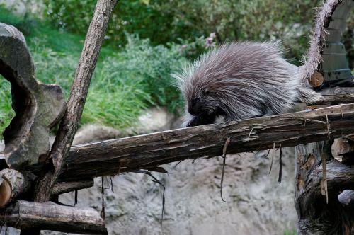 porcupines porcupine log