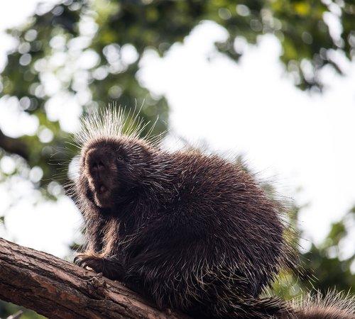 porcupines  mammal  animal