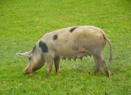 pork sow breeding