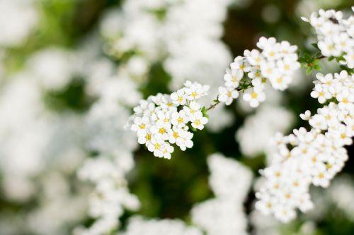 porridge white flower white flowers