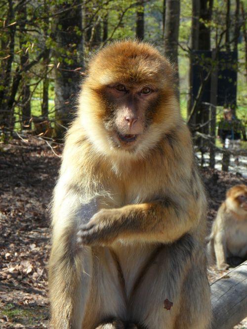 portrait monkey barbary ape