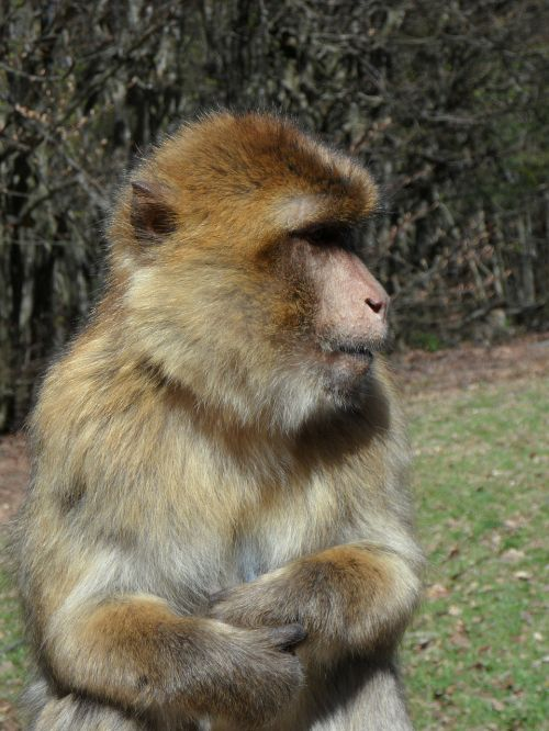 portrait monkey barbary ape