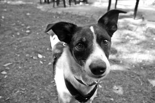 portrait  dog  black and white photography
