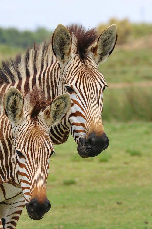 portrait  zebras  mountain zebras