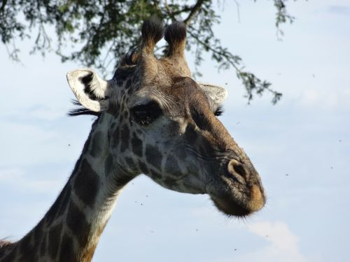 portrait of a giraffe tasks serengeti
