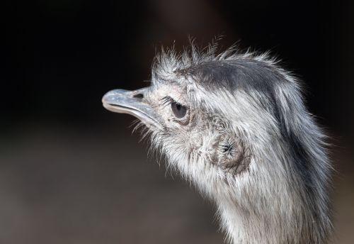 portrait of a greater rhea ostrich bird