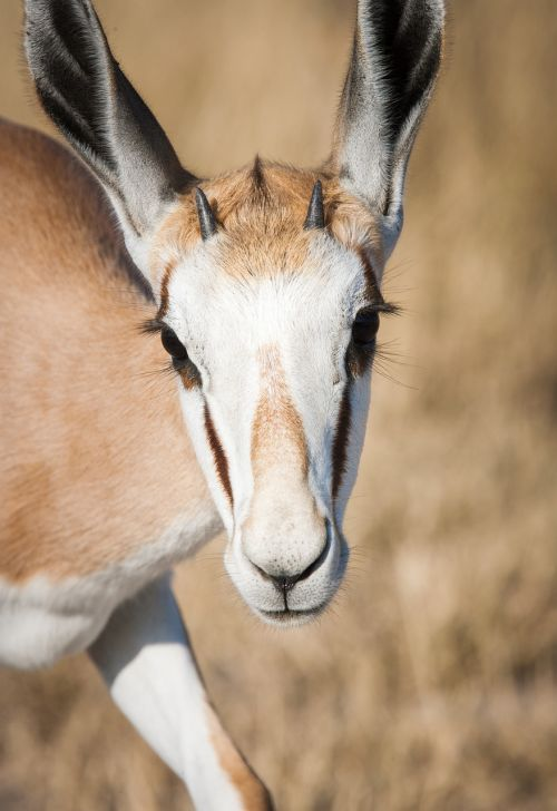 portrait of a springbuck springbok young