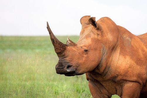 portrait of a white rhinoceros square lipped rhinoceros