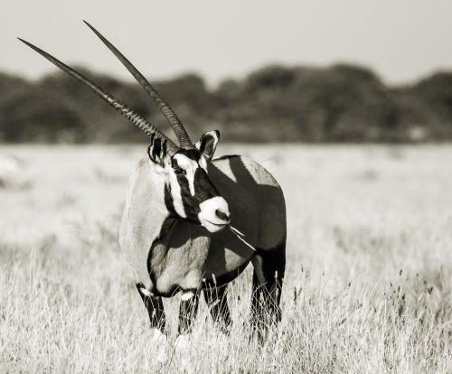 portrait of an oryx gemsbok eye