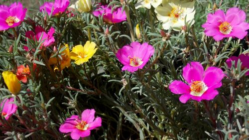 portulaca grandiflora bloemen