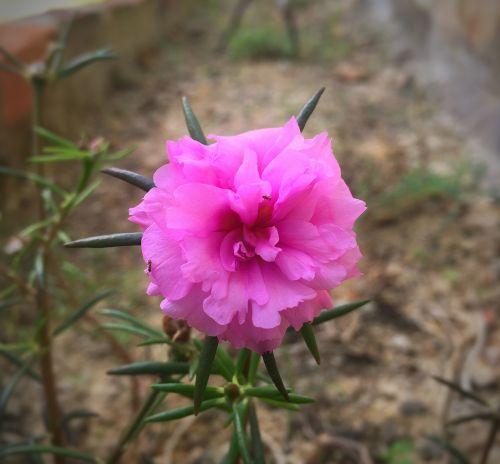 portulaca grandiflora interest at nine o'clock indonesian