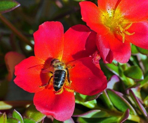 portulaca grandiflora  summer flowers  balcony plant