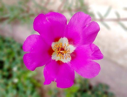 portulaca grandiflora  bright  flowers