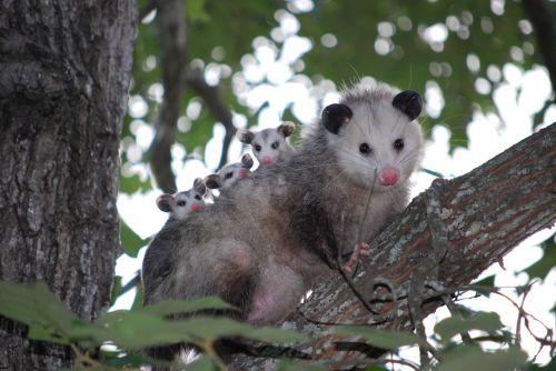 possum opossum animal