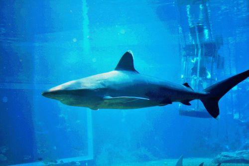 Posterized Shark Image