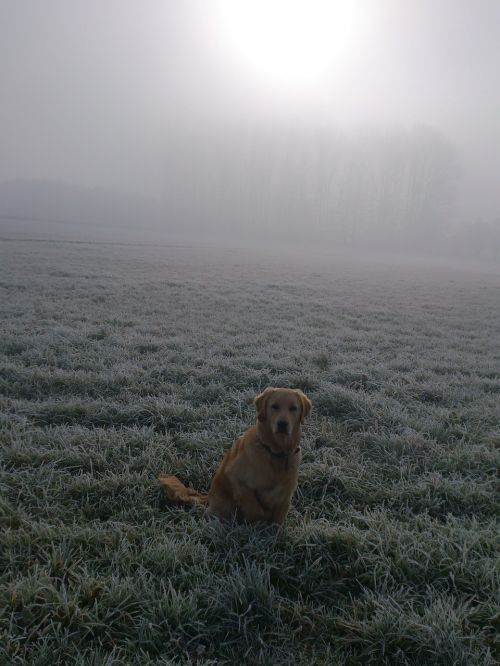 postkartenmotiv golden retriever dog