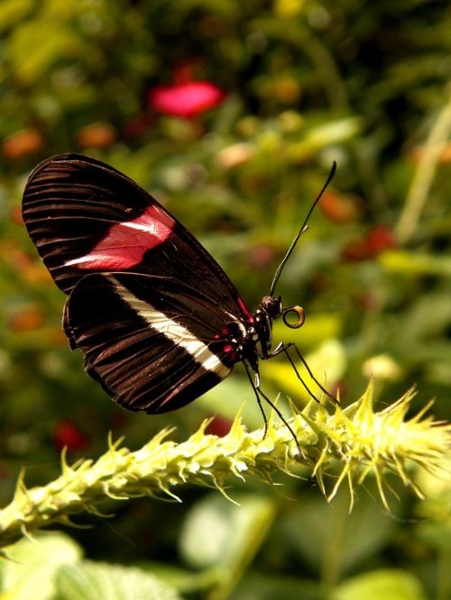 postman butterfly lands