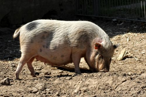 pot bellied pig pig animal