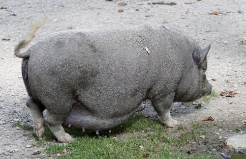 pot bellied pig pig domestic pig