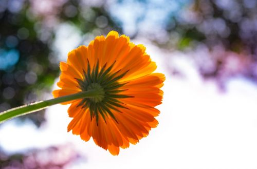 pot marigold flower colorful