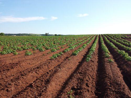 potato field crops