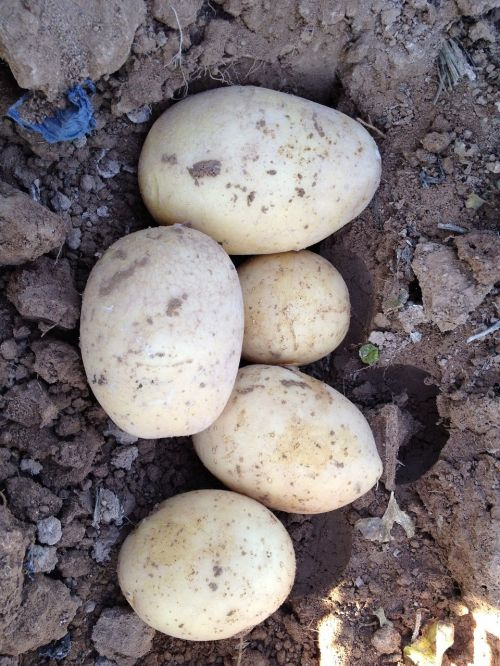 potato field murcia