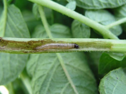 potato insect corn borer