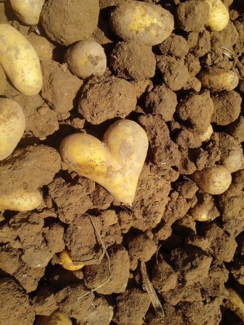 potato heart love