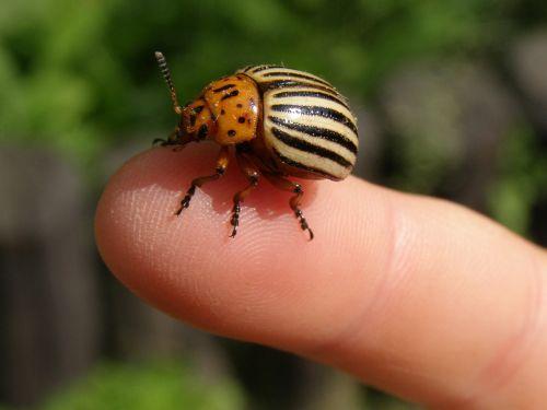 potato beetle beetle striped
