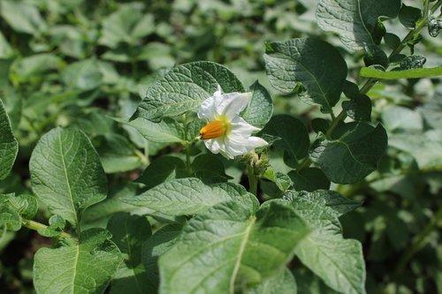 potato blossom  potato  nachtschattengewächs