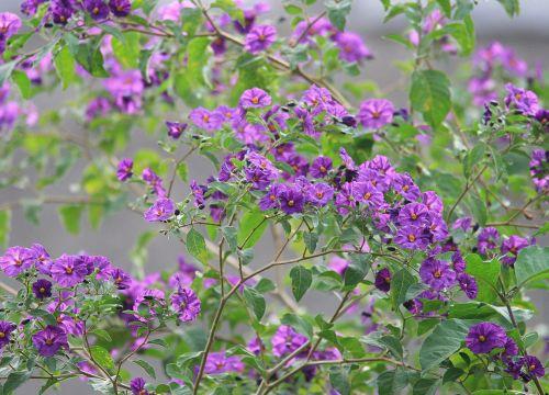 krūmas, žalias, gėlės, violetinė, trimitai, šviesus, bulvių krūmo violetinės gėlės
