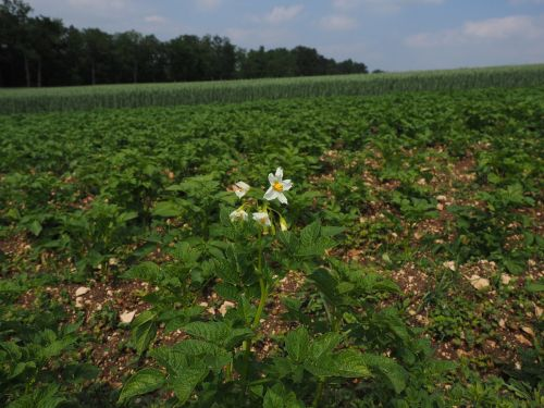 potato field potato blossom blossom