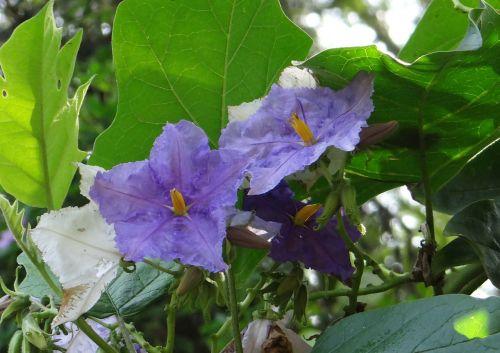potato tree giant star potato tree flower