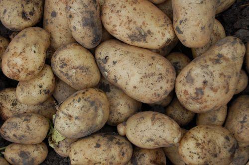 potatoes vegetable tubers