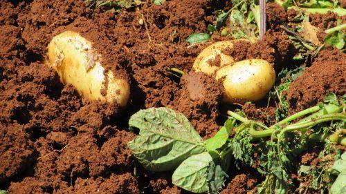 potatoes harvest farm