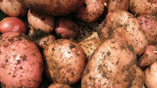 potatoes vegetable spud