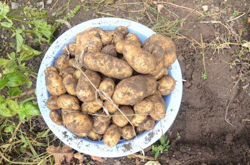 potatoes dug up soil