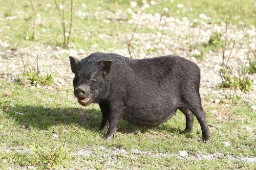 sunaikintos kiaulės,kiaulė,juoda,kiaulės,delikatesas,portugal,maistas,pietauti,auginimas