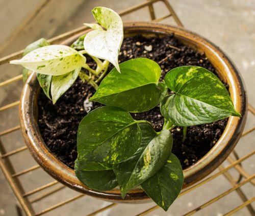 pothos ornamental taro houseplant