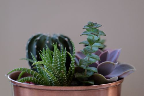 potted plants succulents