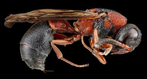 potter wasp macro insect