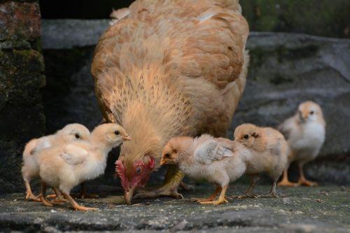 poultry bird hen(poultry)