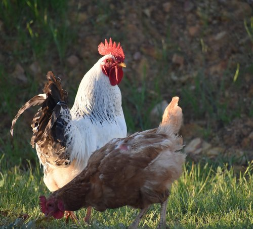 poultry  bird  hen