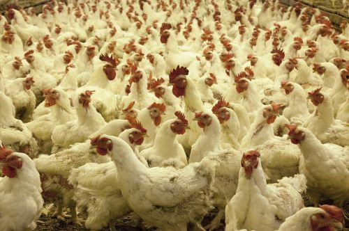 poultry farm chickens agriculture