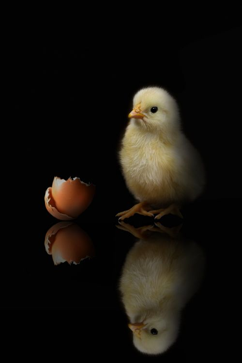 Chick And Shell, Black Background