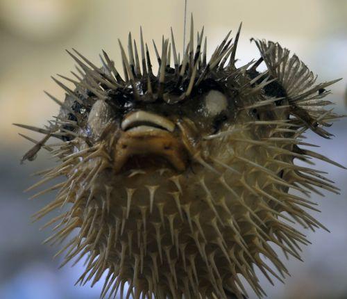 Pouting Blowfish