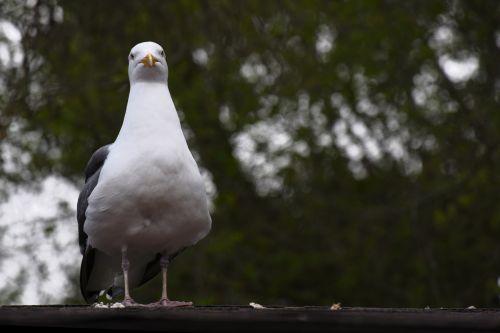 Pouting Seagull