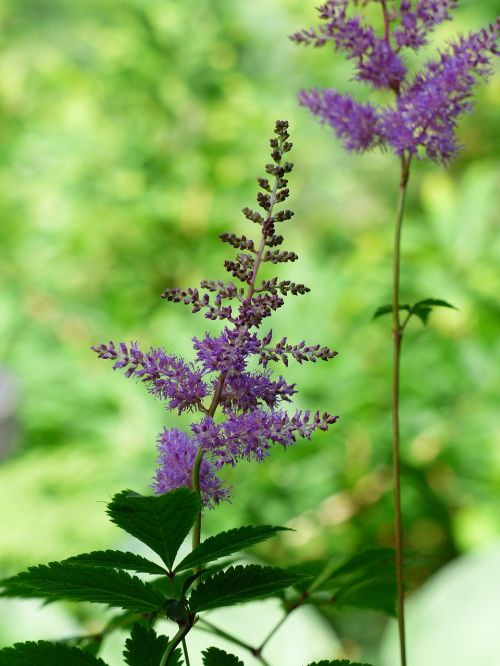 prachtspiere astilbe plant