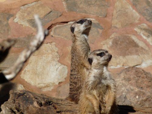 lookout guard surikater