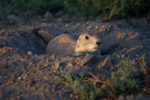 prairie dog animal burrowing